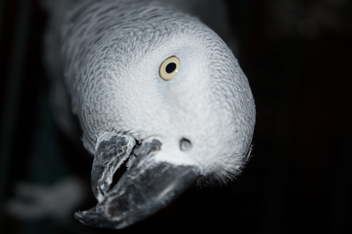 perroquet-gabon