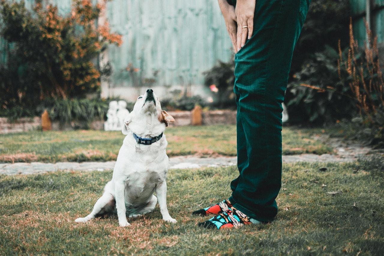 chien labrador